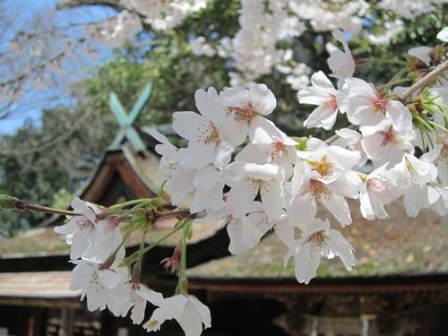 Sakura spring!