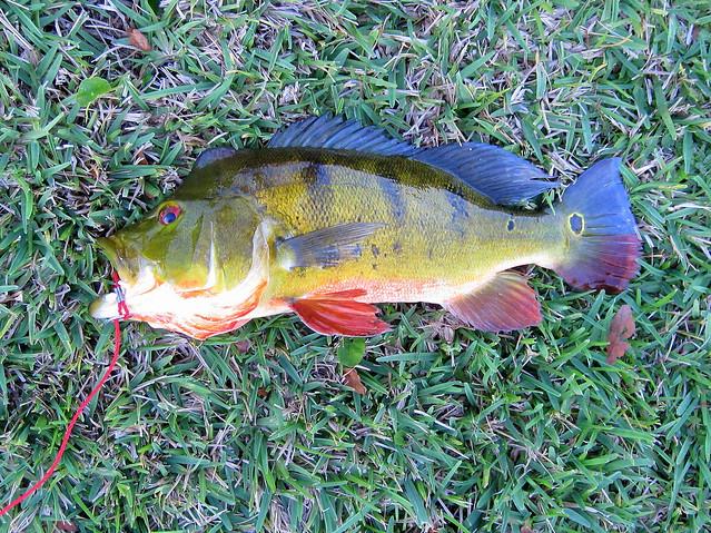 Peacock Bass 2-20120224