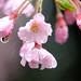 雨中の桜花