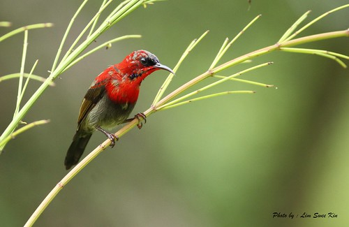 Crimson Sunbird ( Male )