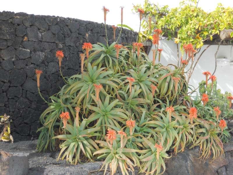 Aloe en flor