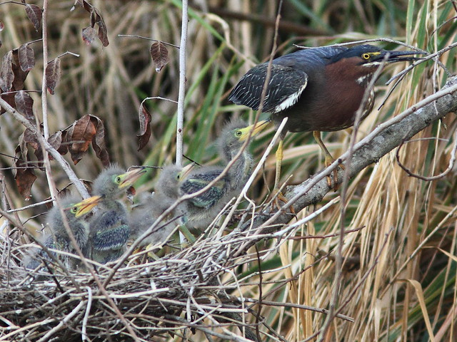 Green Heron chicks begging from mother 5-20120419