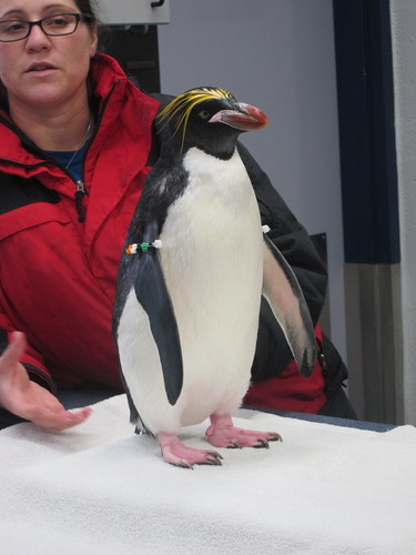 Cute macaroni penguin