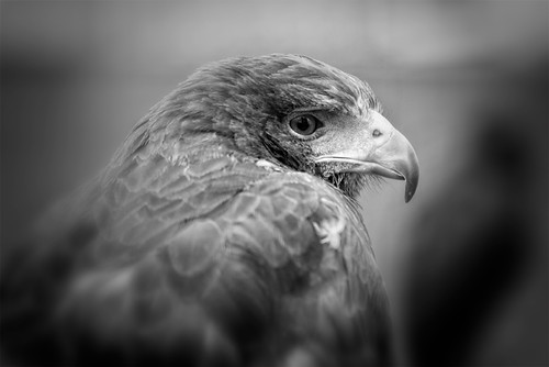 Harris Hawk B&W