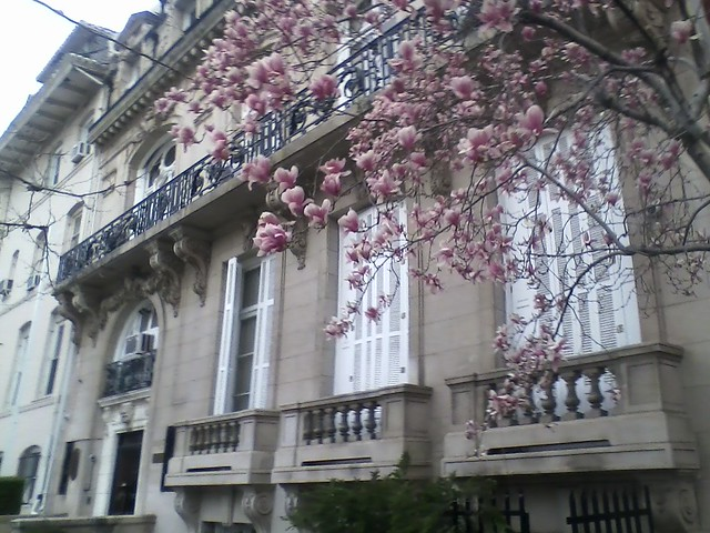 Indian Embassy Cherry Blossoms