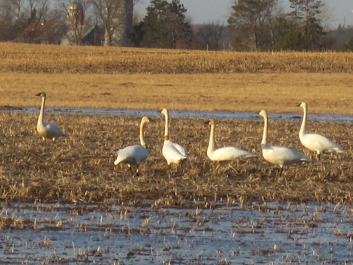 2 Re-Introduced Trumpeter Swans