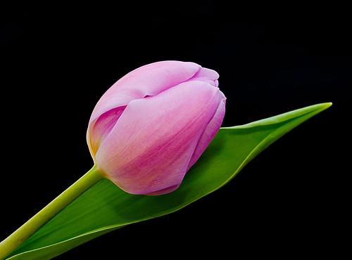 Roze - Pink by RuudMorijn