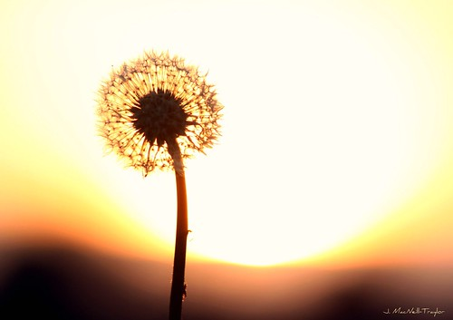sunset flower silhouette weed dandelion seeds