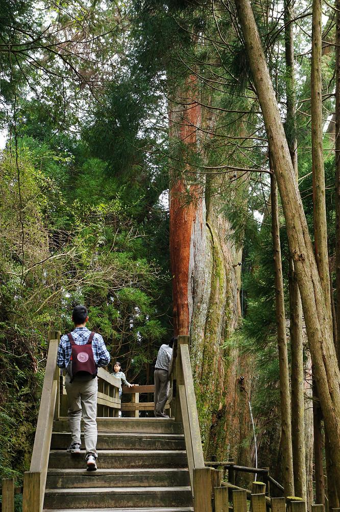 觀霧巨木步道-049