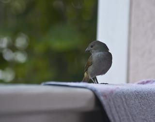 Posing bird, Barbados