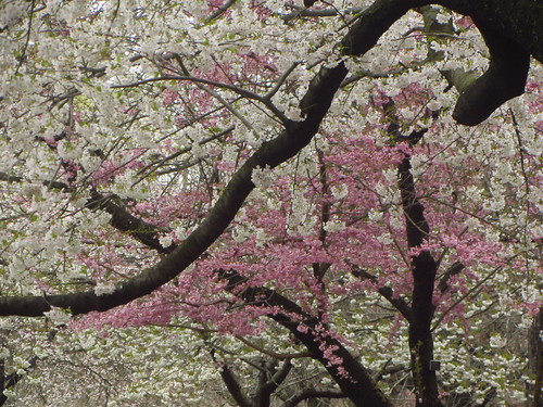 two cherry trees