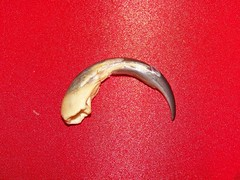 How tamandua claws shed