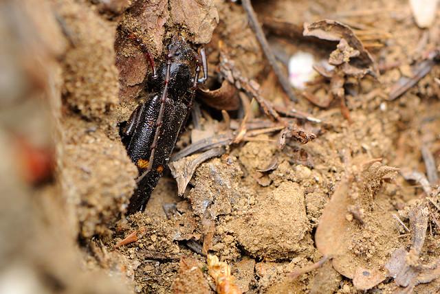 Semanotus japonicus