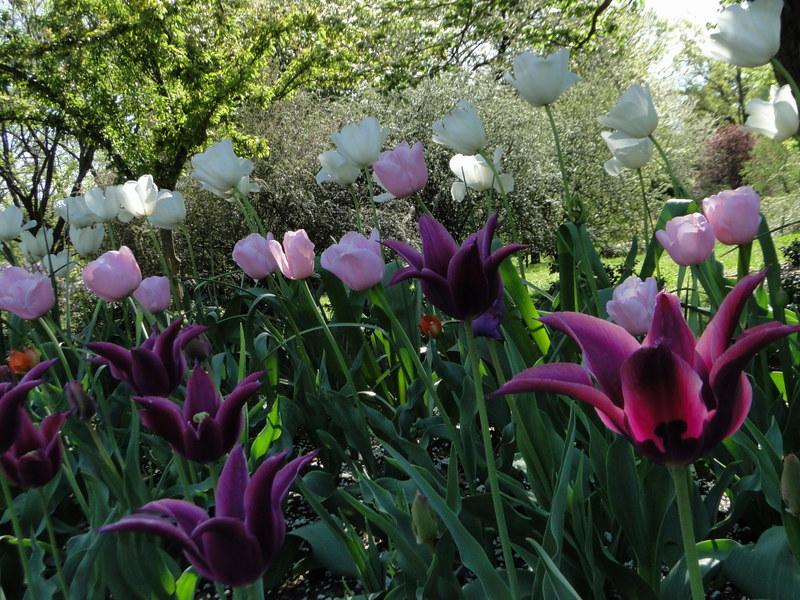 77-21apr12_3939_Botanical_garden_tulip