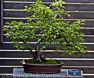 Bonsai-Prunus Domestica-Jardi Botanic de BCN 23