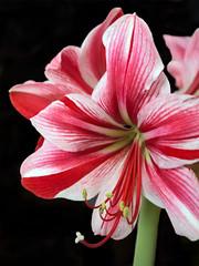 amaryllis belladonna, flower, red, plant, macro photography, flora, close-up, plant stem, pink, petal,