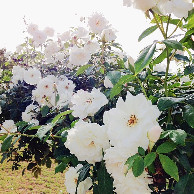 The Mr suggested a afternoon stroll around the neighbourhood. Lovely way to spend time as the weekend draws to a close. #flowers #vscocam