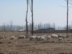 就在污染農田的同一塊土地北面,就有牧羊人正在放牧羊群。