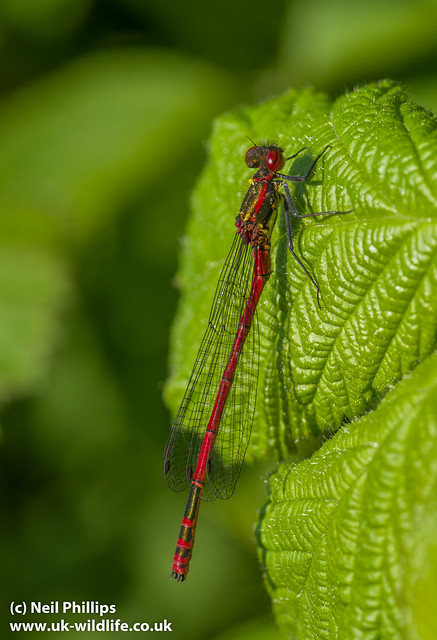 large red damselfly-3
