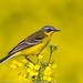 Western yellow wagtail sitting on a weathered ground in the green spring grass.