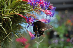 Pipevine Swallowtail or Blue Swallowtail