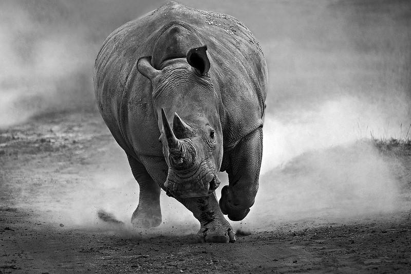 憤怒的白犀牛_攝影肖戈_網
