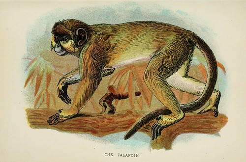 018-El Talapoin-A hand-book  to the primates-Volume 2-1896- Henry Ogg Forbes