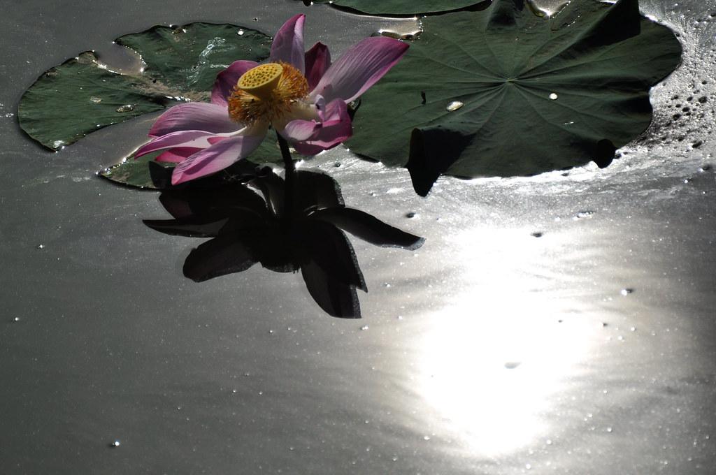 Lotus under the sun 烈日下的荷花 ...