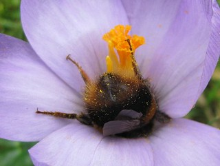 Bee in a crocus
