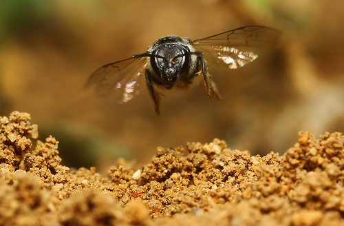 Mining Bee In Flight
