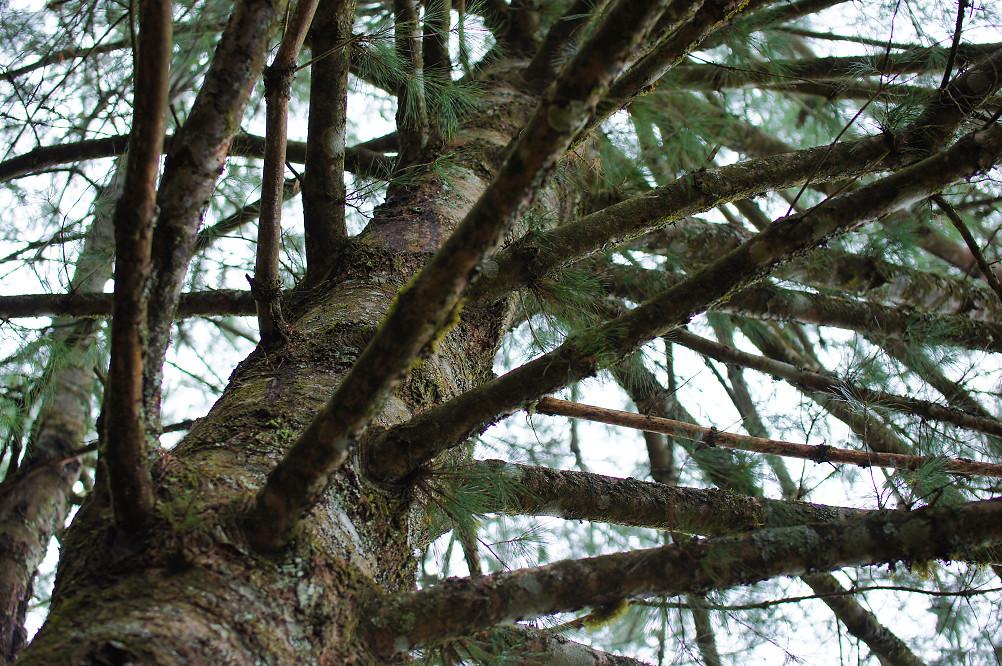觀霧巨木步道-027