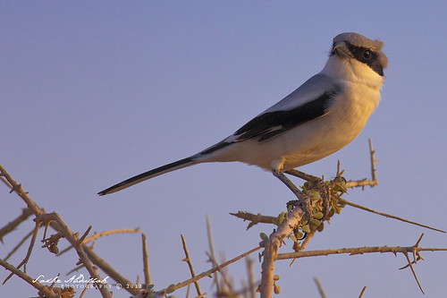 Southern Grey Shrike : صرد رمادي