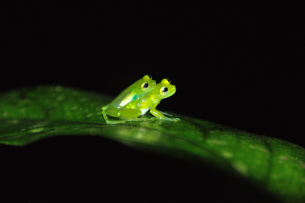 Jason.Kopp.14.GlassFrogs.Tirimbina,CostaRica.jpg
