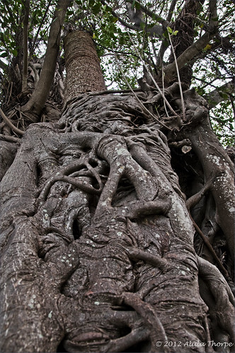 banyan tree by Alida's Photos