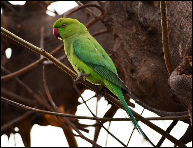 Indian Green Parrot | ...