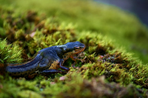 Eastern Newt - Gravid Female by essentialyoga