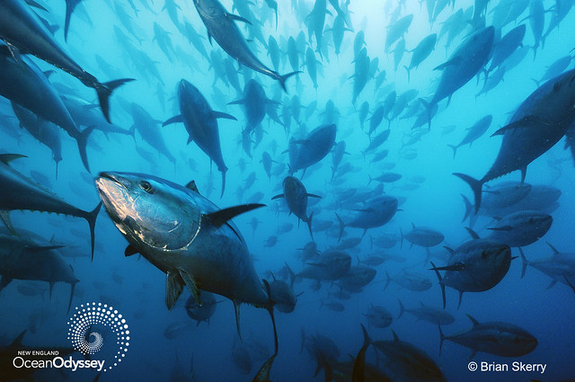 Bluefin tuna. Photo by Brian Skerry.