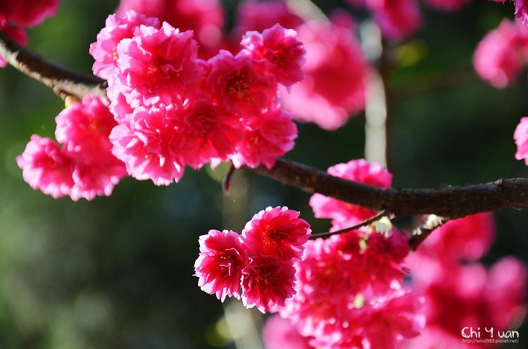 九族文化村櫻花祭-日23.jpg