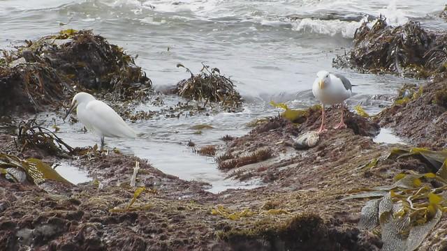MVI_0229 gull feasting on fish