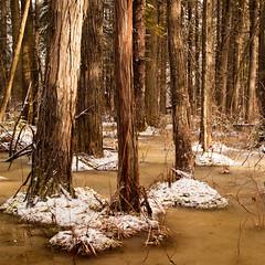 Loverens Mill Cedar Swamp