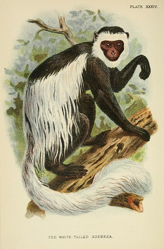 019-Guereza de cola blanca-A hand-book  to the primates-Volume 2-1896- Henry Ogg Forbes