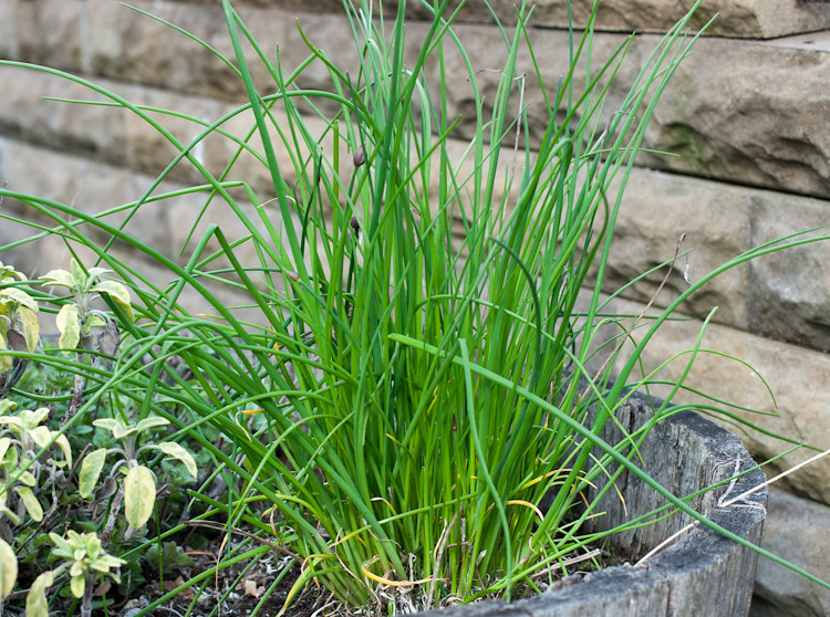 Herb barrel garden spring chives