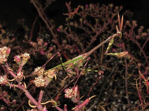 Empusa guttula (Empusidae)