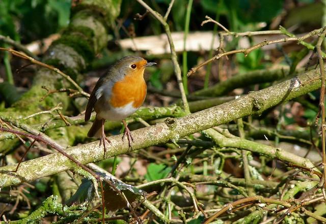25587 - Robin, Dryslwyn