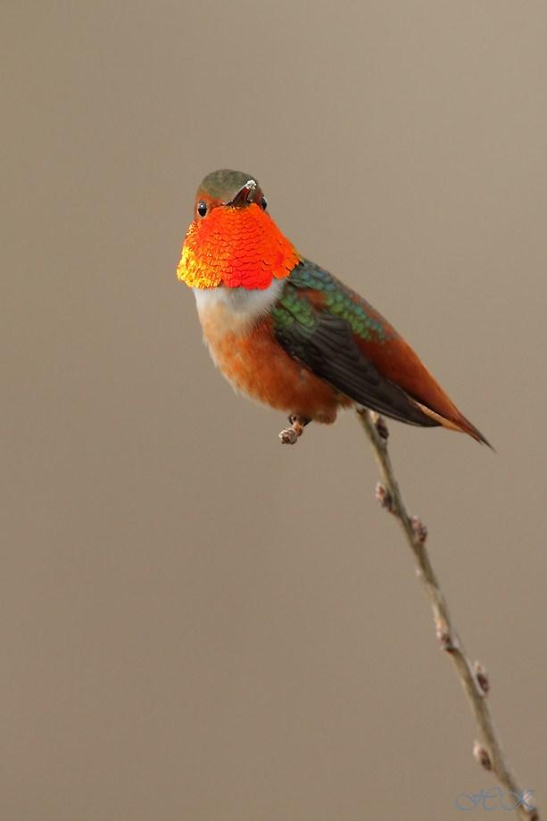 Allen's Hummingbird 030112-6