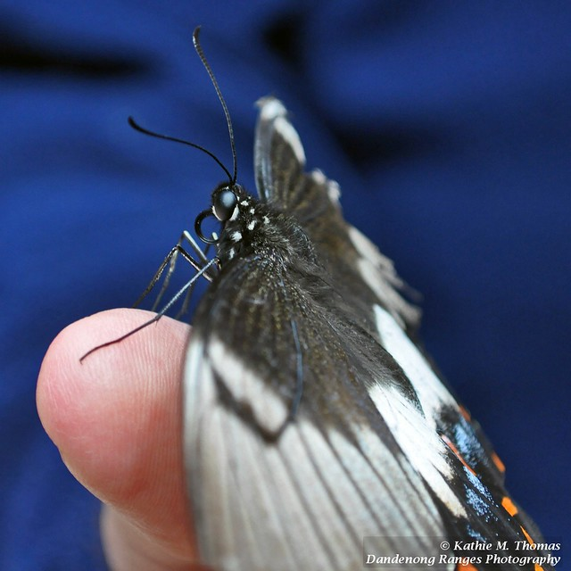Dingy Swallowtail butterfly - Papilio anactus