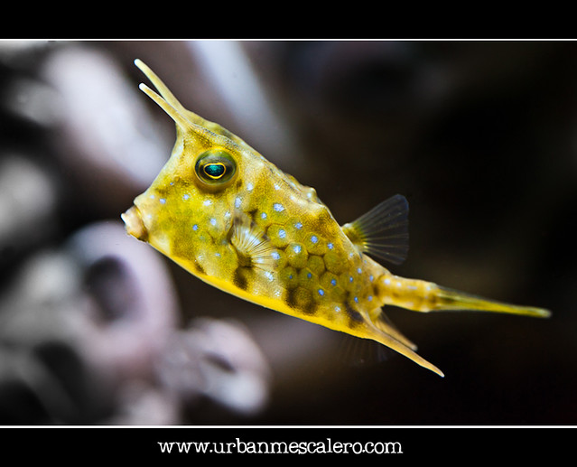 The Longhorn Cowfish - Lactoria cornuta