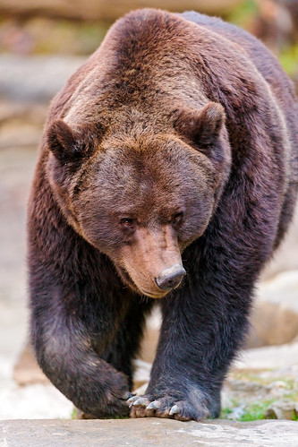 無料写真素材, 動物 , 熊・クマ