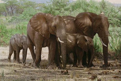 """'Elephants Taking Shade' oil on board 20"""" x 29½"""""""
