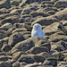 Snowy Owl On The Rocks